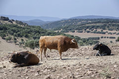 Three bulls grazing in the field Stock Images