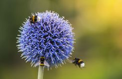 Bumble Bees on Echinops. Three Bumble Bees on Echinops. Green Blurry Background. Copy Space royalty free stock photography