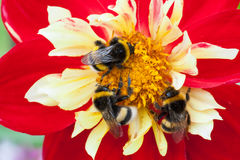 Three Bumblebee on a red flower. Bumblebee sucking honey from a flower and are covered with pollen Stock Photos