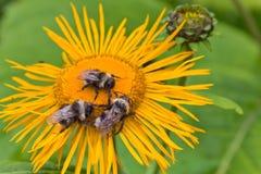 Three bumblebees Stock Image