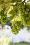 Three bunch of grapes Royalty Free Stock Images