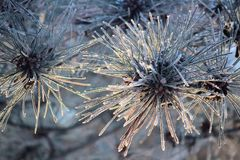 Horror frost on pine needle branches in the morning Royalty Free Stock Images