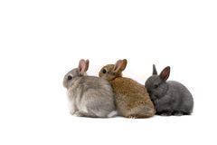 Three Bunnies. Three Netherland Dwarf bunnies on white background Royalty Free Stock Photos