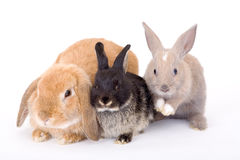 Three bunny Royalty Free Stock Images
