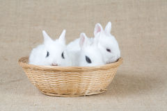Three bunny in the basket Stock Image