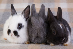 Three bunny on the blanket Stock Images