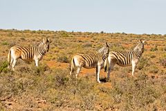 Three Burchell`s Zebra in afternoon Stock Photos