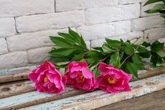 Three burgundy peonies Stock Photo