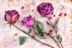 Three burgundy rose flowers on painted crumpled aged paper background close up, holiday invitation or greeting card design royalty free stock images