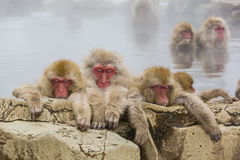 Three Tired Snow Monkeys in the Steam. While other snow monkeys soak in the background, these three fuzzy, furry, brown, red-faced wild snow monkeys with eyes Stock Photography