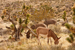 Three Burros Grazing in Desert Royalty Free Stock Image