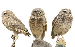 Three Burrowing Owls. (Athene cunicularia) over white Royalty Free Stock Photography