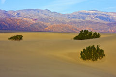 Three Bushes on a Sand Dune Royalty Free Stock Images