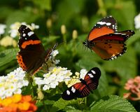 The three buterflies. A photo showing three different types of butterflies. the flying one is called monarch. the one spreading its wings called Doris long wing royalty free stock images