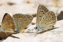 Three butterflies. Close-up of three butterflies on a stone Royalty Free Stock Photos