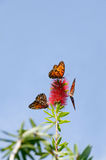 Three Butterflies on Flower Stock Photography