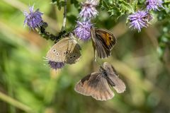 Three butterflies fly around a purple flower around against blurred background royalty free stock images