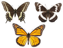 Three Butterflies Isolated stock photo