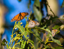 Three Butterflies Monarch. Are sitting on the leaves Royalty Free Stock Photo