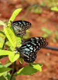 Three butterflies on the plant Stock Images