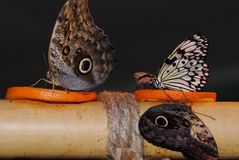 three butterflies Stock Photography