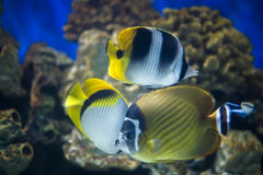 Three butterfly-fish Stock Photography