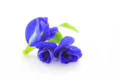 Three Butterfly Pea on a white background. Butterfly Pea is qualified to be an antioxidant. The Butterfly Pea have a substance named Anthony Saiyan. ( Stock Image