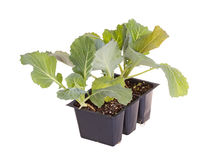 Three cabbage seedlings ready for transplanting Royalty Free Stock Image