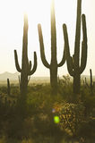 Three cacti at sunset Stock Image