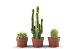 Three_cacti_on_white Royalty Free Stock Images