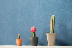 The three cactus. Three cactus with dark blue wall Stock Image