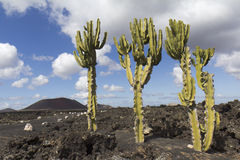Three cactus on a lava field Stock Photography