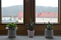 Three cactus plants on a windowsill in a row as decoration inspiring idea for the bedroom stock photo