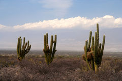 Three cactuses Stock Images
