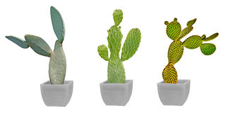 Three cactuses in pot Royalty Free Stock Photography
