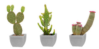 Three cactuses in pot Royalty Free Stock Photo