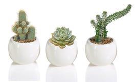 Three cactuses in pot Stock Photo