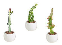 Three cactuses in pot Stock Image
