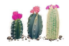 Three cactuses without pots Stock Image