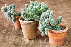 Three cactuses in pots Stock Photography