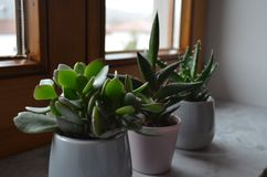 Three cactuses on a windowsill as decoration stock photo