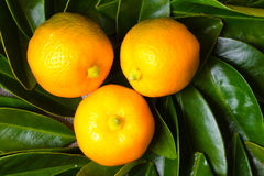 Three calamondin citrus fruits colse up Royalty Free Stock Image