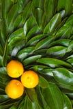 Three calamondin citrus fruits Royalty Free Stock Image