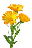 Three Calendula Flowers Royalty Free Stock Images