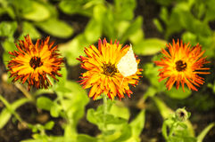 Three calendula flowers stock images