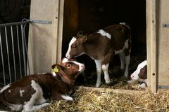 Three calfs stable royalty free stock photos