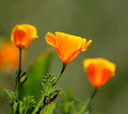 California poppy flowers. Three california poppies backlit by the sun with a soft blurred green background royalty free stock image