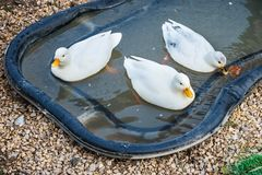 Three white Call Ducks in a little pond stock photo