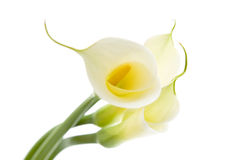 Three calla lilies Royalty Free Stock Photos