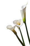 Three calla lilies. Close-up, isolated on white background Stock Images